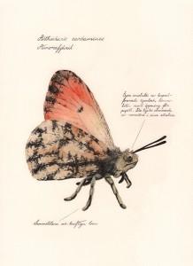 Jonas Falck – a rejected explorer's observations: aurorafjäril