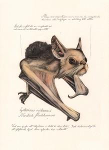 fladdermus01Jonas Falck – a rejected explorer's observations: fladdermus