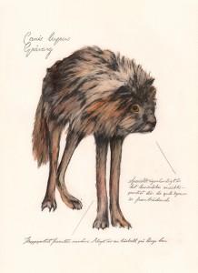 Jonas Falck – a rejected explorer's observations: gråvarg