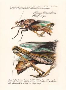 husfluga01