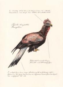 Jonas Falck – a rejected explorer's observations: kungsörn