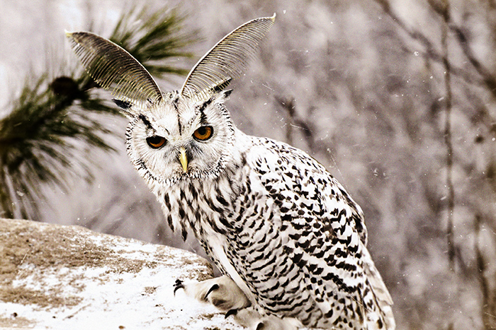Found and constructed slides of nature: bubo scandiacus