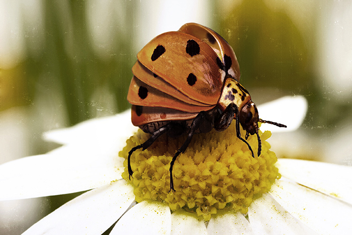 Found and constructed slides of nature: coccinellidae