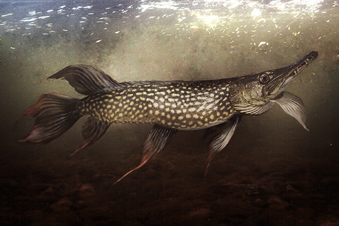 Found and constructed slides of nature: esox lucius